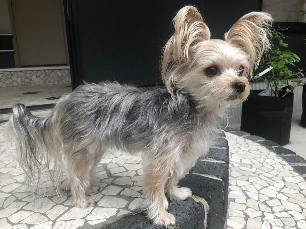 よもぎくんを玄関で待つ犬